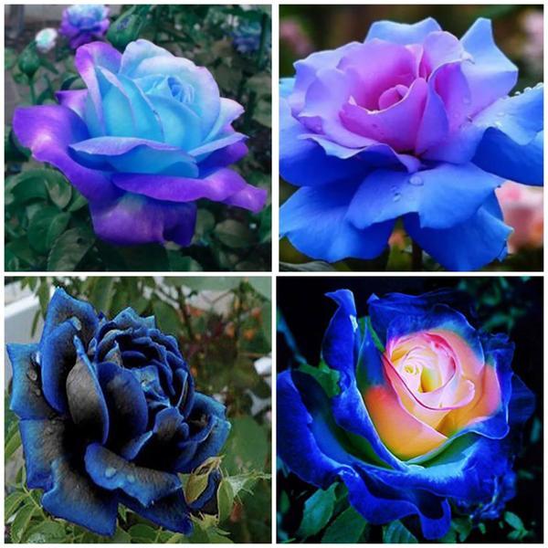 Синие розы весьма популярны