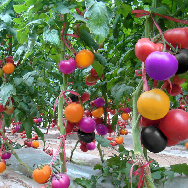 На радость любителям томатов