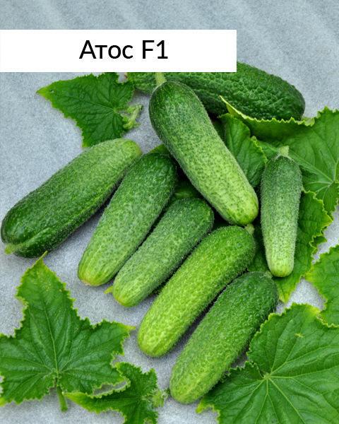 Ультрараннеспелый гибрид Атос F1 гарантирует высокий урожай