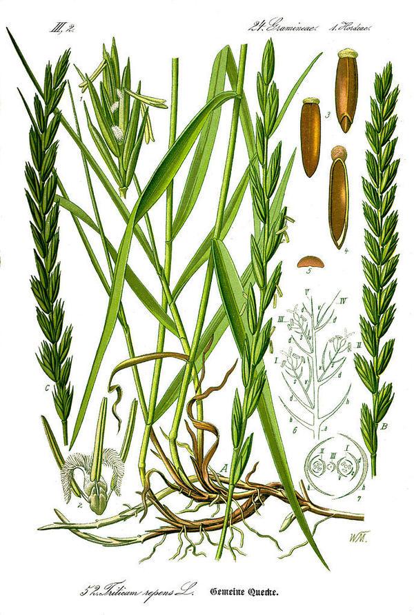 Пырей ползучий. Ботаническая иллюстрация, источник: wikimedia.org