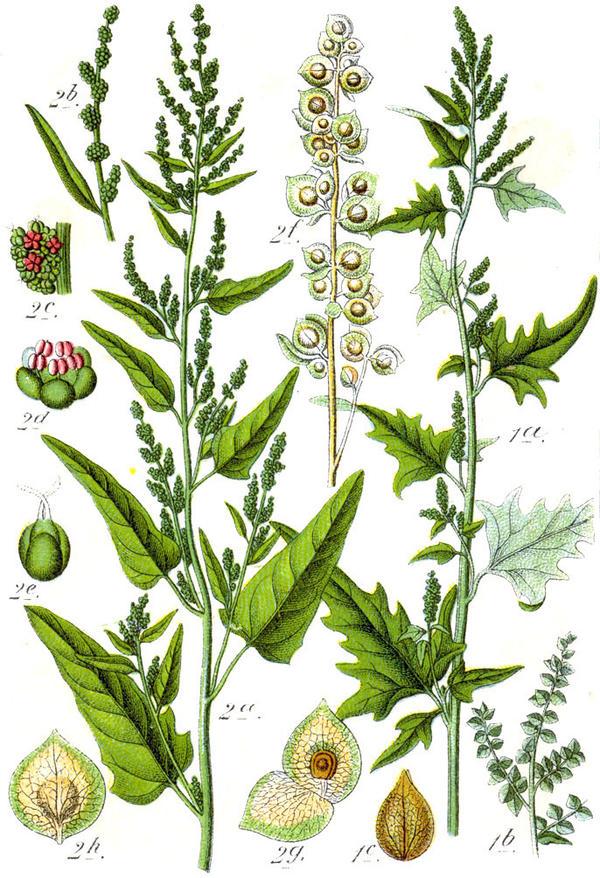 Слева - лебеда садовая (Atriplex hortensis), справа - лебеда стреловидная (Atriplex sagittata). Ботаническая иллюстрация Якоба Штурма из книги Deutschlands Flora in Abbildungen, 1796