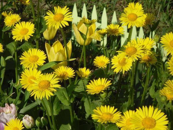 Дороникум - нетребовательное растение. Фото автора