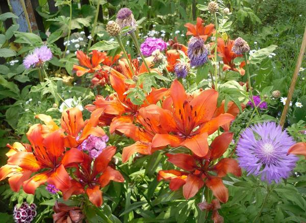 Василек многолетний в цветнике