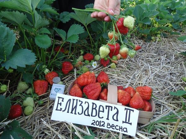 Земляника Королева Елизавета II. Фото с сайта fermers.ru