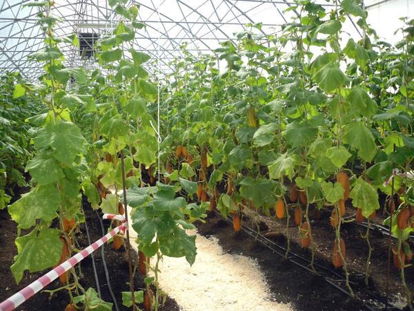 Будущие семена огурцов