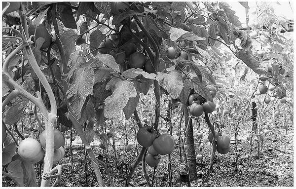Томаты у Юрия Цикова плодоносят с апреля по декабрь