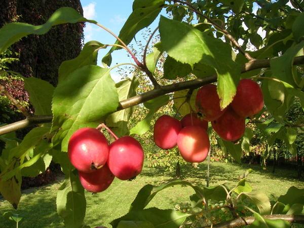Эти яблони сажают не ради крупных плодов