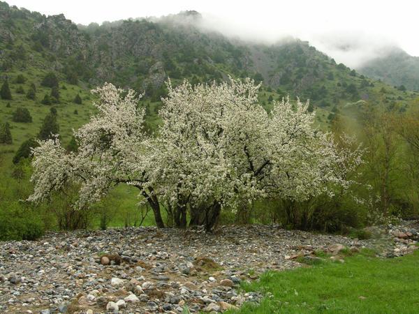 Яблоня дикая (M. sylvestris)