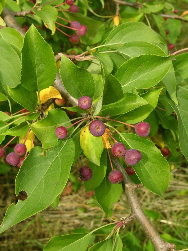 Яблоня ягодная, или сибирка