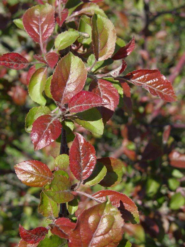 У многих диких яблонь красноватая листва