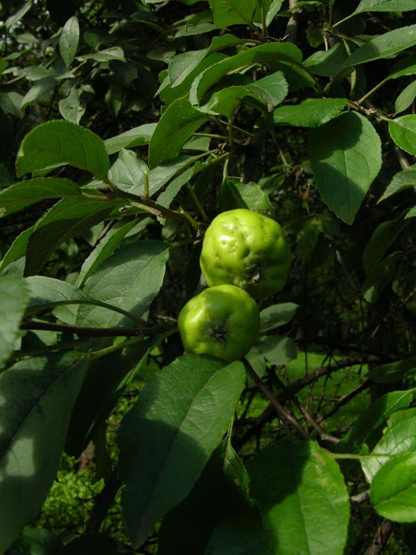 Яблоня айовская (M. ioensis)