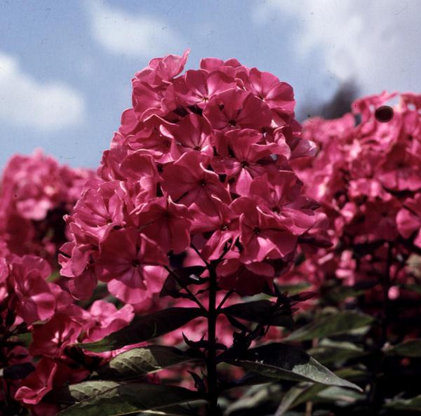 Для коллекционеров флоксов важнее всего цветок