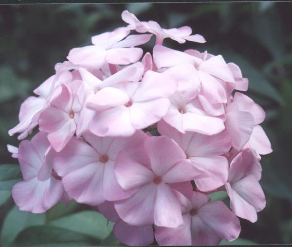 Флокс, сорт Цвет яблони