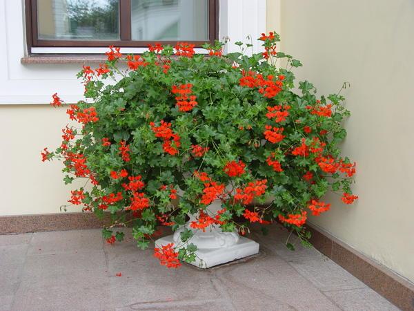 Растения с красными цветками хорошо размещать при входе