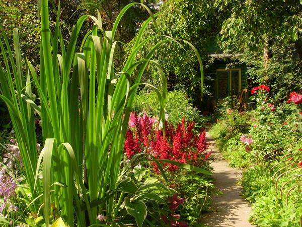 Красные астильбы в садовой композиции