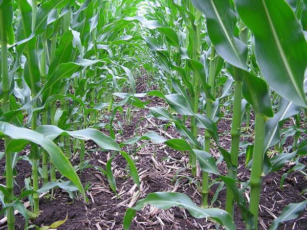 Кукуруза - суперзлак, отличный биоплуг. Фото с сайта kurdyumov.ru