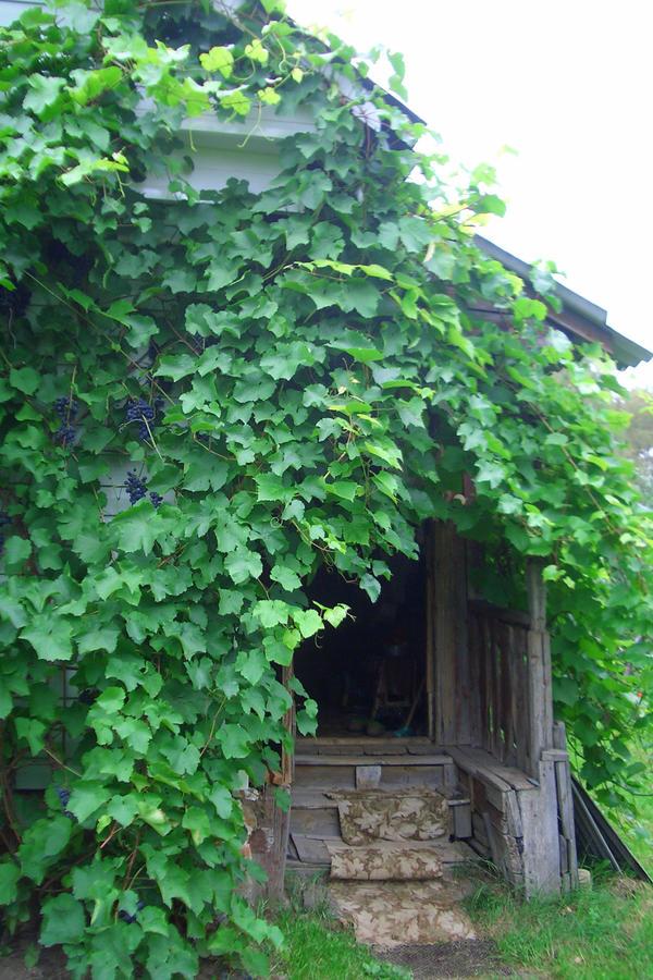 Предоставленный сам себе, виноград быстро осваивает пространство