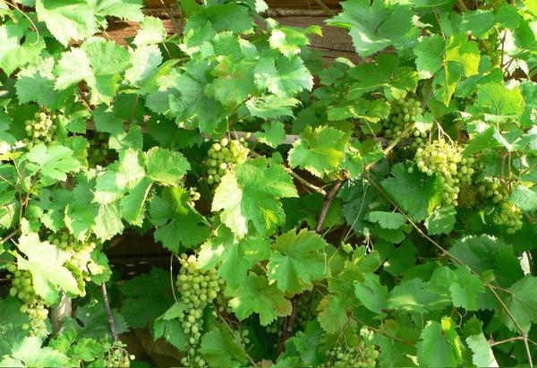 Защита от болезней: либо регулярно опрыскивать растения, либо выбирать устойчивые сорта