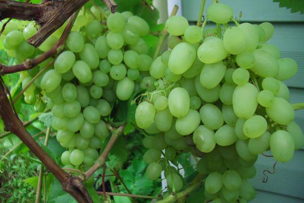 Виноград известен садоводам уже десять тысяч лет