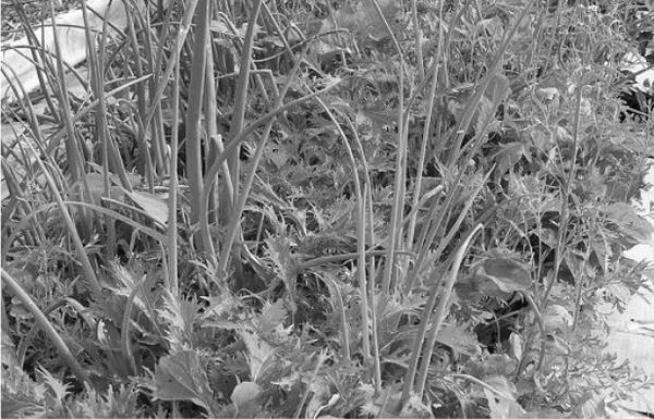 одна из моих грядок в мае-июне. После уборки зелени сюда ложится толстая травяная мульча