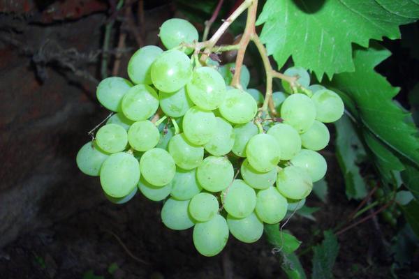 В условиях Подмосковья виноград нуждается в укрытии