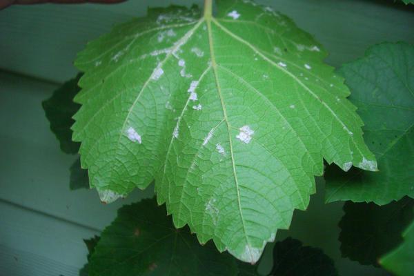 Виноград в теплую сырую погоду поражается болезнями
