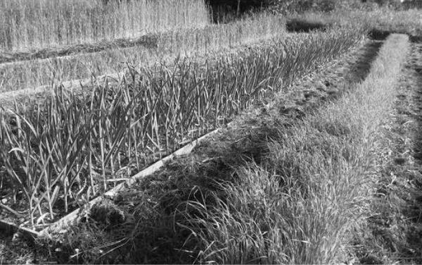Образцово-показательный огород А.С. Котлова, Псков. Почва пробита корнями, затенена, грядки замульчированы. Вся влага дождей впитывается и усваивается