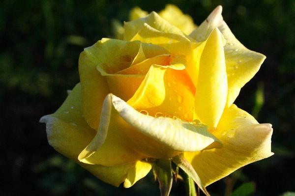 Желтая роза прекрасна. Желтый розарий навевает скуку