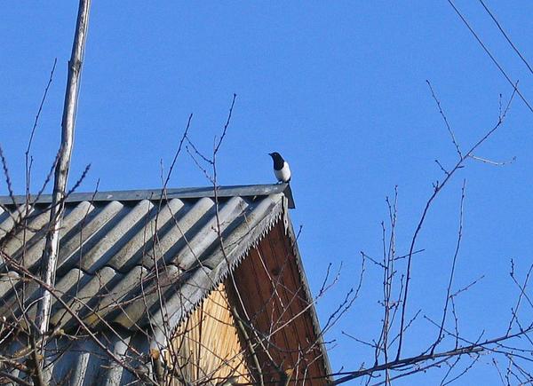 Застигнутая за работой сорока переместилась на соседнюю крышу. Фото из архива автора