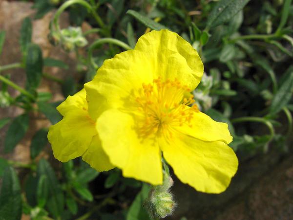 Солнцецвет монетчатый (Helianthemum nummularium)