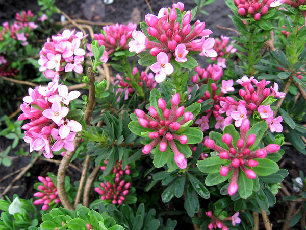 Дафна Юлии, или волчеягодник Юлии (Daphne julia, или Daphne cneorum)