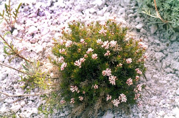 Ясменник розоватый (Asperula cynanchica)