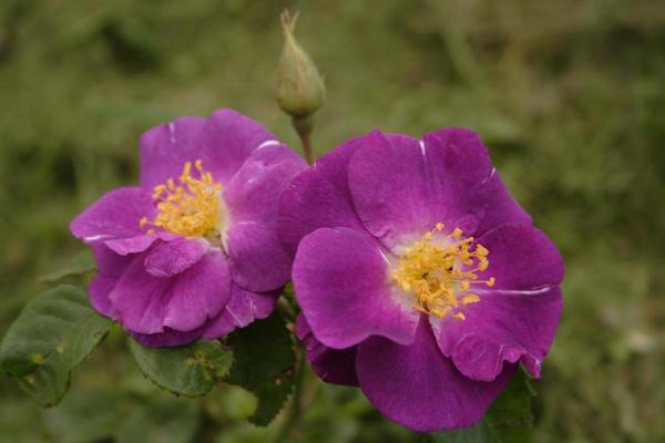 Цвет этой розы меняется в зависимости от погоды и освещенности