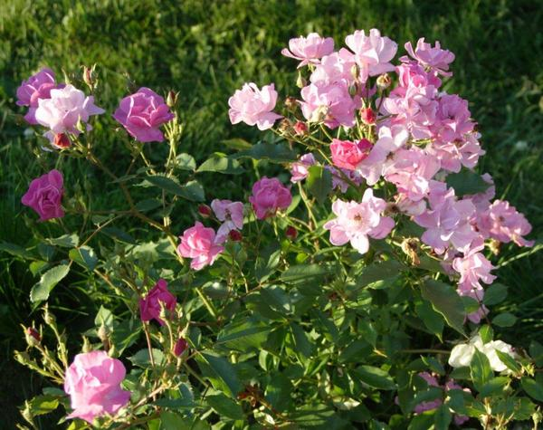 Lavender Dream - неутомимая роза