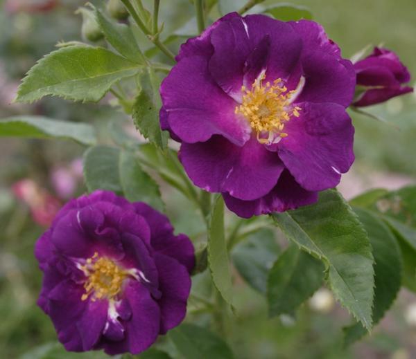 Rhapsody in Blue - самая синяя из существующих роз