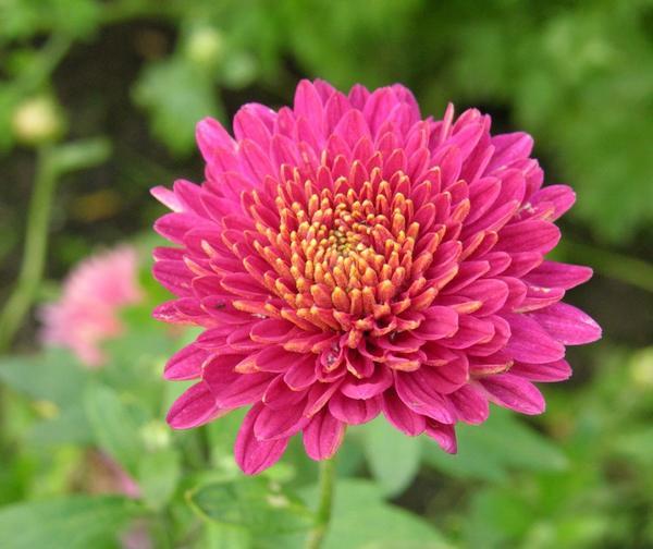 Хризантемы. Цветы, покорившие мир