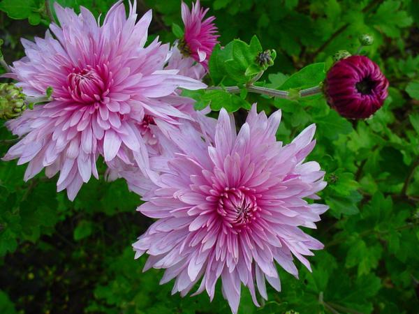 Хризантемы. Цветы, воспетые на многих языках