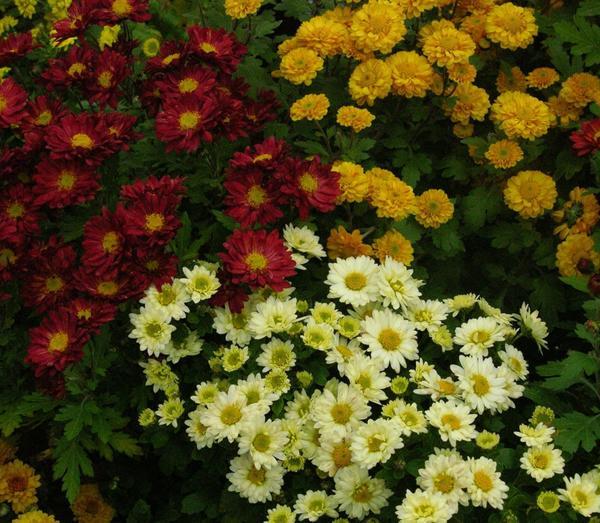Хризантемы. Цветы осени