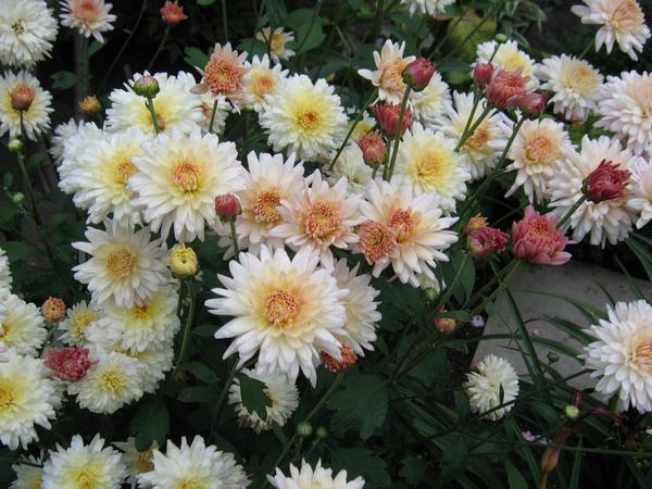 Хризантемы. Цветы с многовековой историей