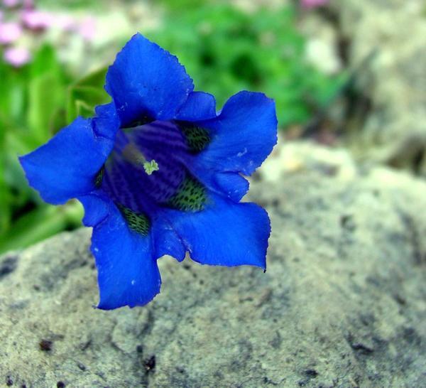 Горечавка динарская (Gentiana dinarica)