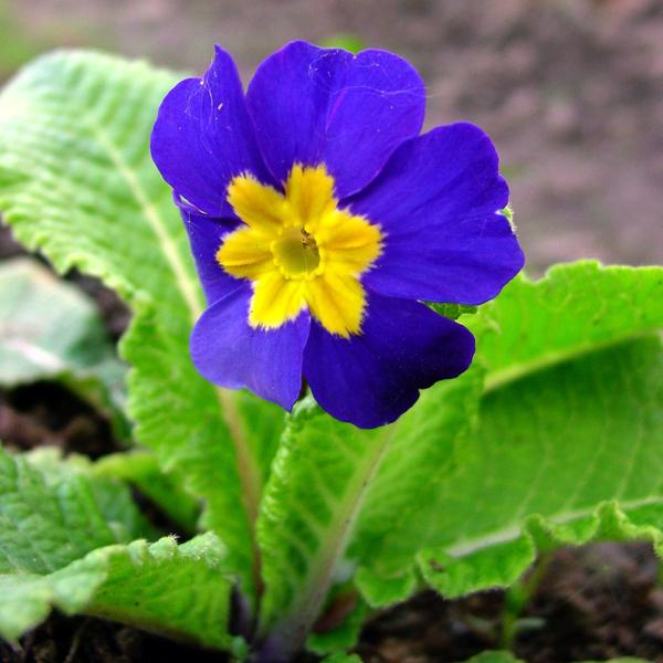 Примула высокая (Primula elatior) Blue Selection