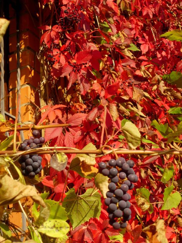 Плодовый виноград