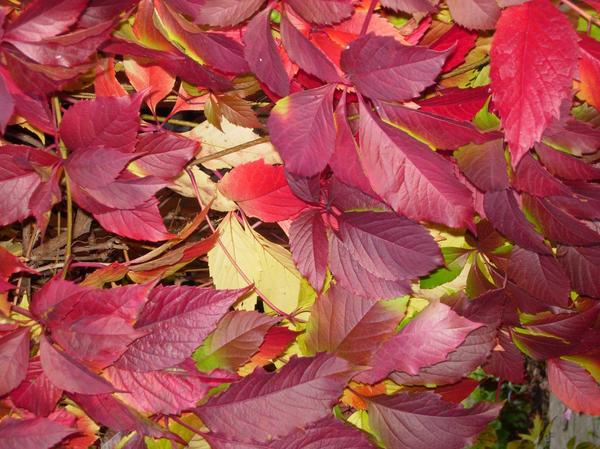 Девичий виноград: яркие краски осени