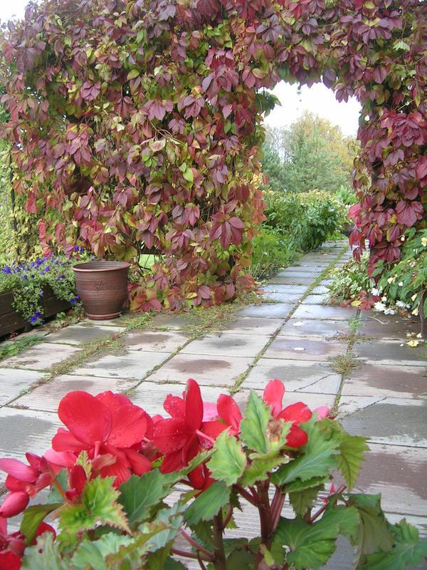 В саду виноград создает преграду для нескромных взглядов