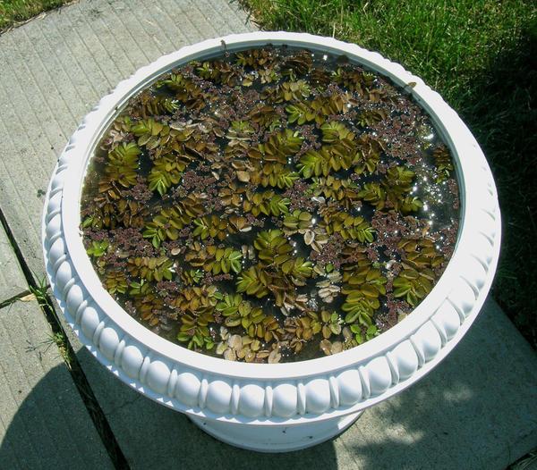 Прудик в чашке - решение для маленьких садов