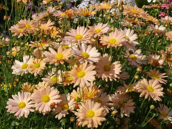 Цветоводы и ботаники по-разному классифицируют хризантемы