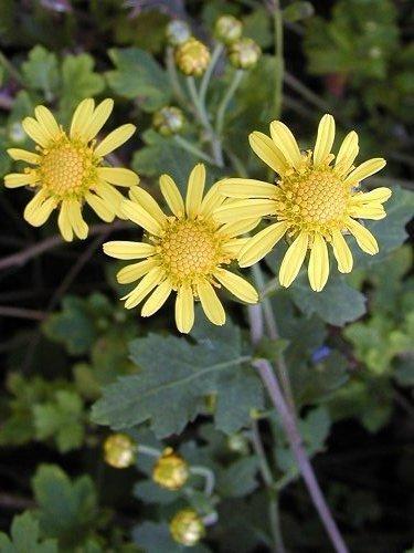 Хризантема индийская, или мелкоцветковая (C. indicum)