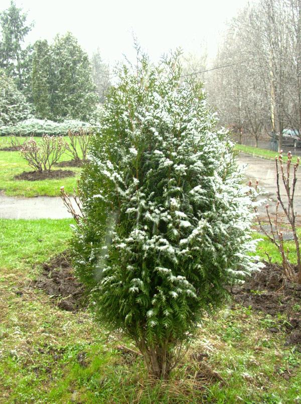 Thuja occidentalis 'Wagneriana'