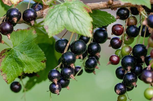 Черная смородина - широко известный и популярный вид, имеющий множество сортов