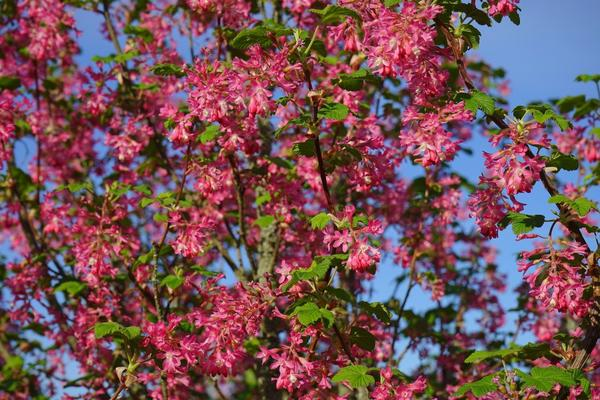 Смородина кроваво-красная требует укрытия на зиму, но за заботу отблагодарит обильным цветением